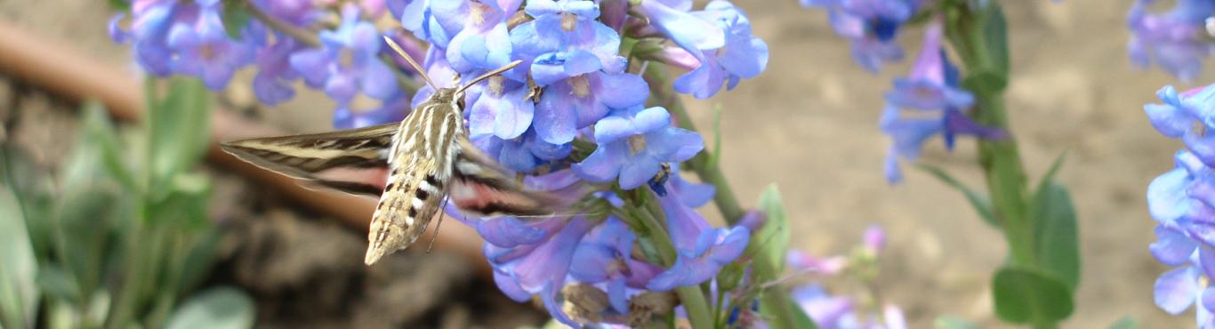 penstemon and hawkmoth